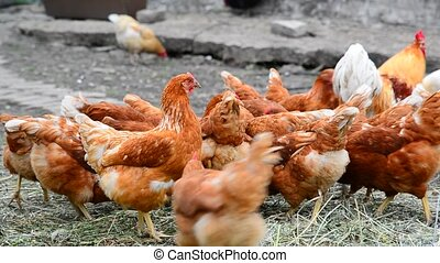 Breeding hens in poultry house - Breeding hens in the...