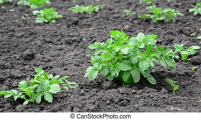 Young sprouts of potatoes in field - Young sprouts of...