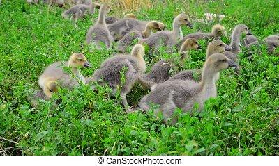 Goslings tweak the grass in yard - Goslings tweak the grass...