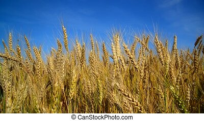 Ripe wheat swayed in wind. Russia - Ripe wheat swayed in a...