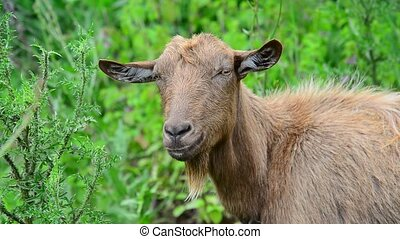 Brown goat without horns is grazing in nature - Brown goat...