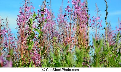 Blossoming willow-tea and pollinating its insects -...