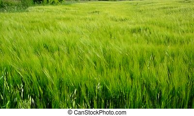 Young green rye in wind - Young green rye in the wind