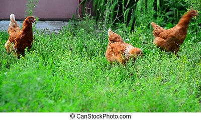 Red chickens eat grass in the courtyard of the house