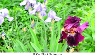 Pink iris on flower bed closeup - Pink iris on a flower bed...