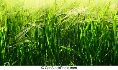 Green ears of rye are swaying in wind. close-up - Green ears...