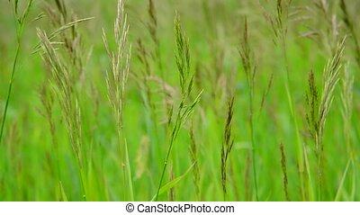 Green field grass in wind in summer - Green field grass in...