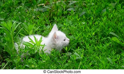 White kitten shivering from cold in grass - White kitten...