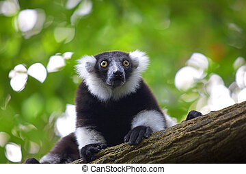 Lemur - Black-and-white Ruffed Lemur peaking out from a tree