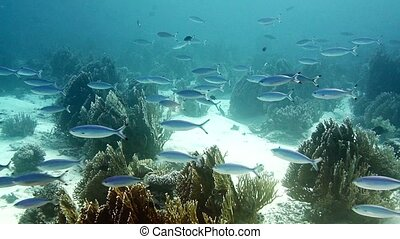 School of fish Blue fusilier in blue water -Red Sea, Egypt -...