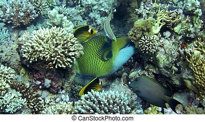 Trigger fish over colorful coral reef and Elphinstone....