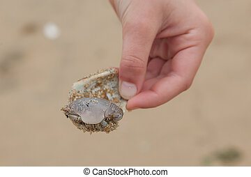 Sand Crab on Shell - A little girl holds a shell with a tiny...