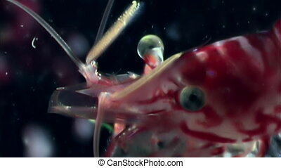 Eyes of red shrimp close up masked in search of food...