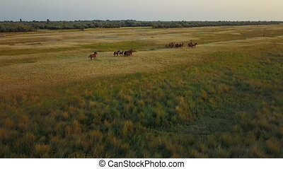 Herd of horses. Aerial survey - A herd of wild horses in a...