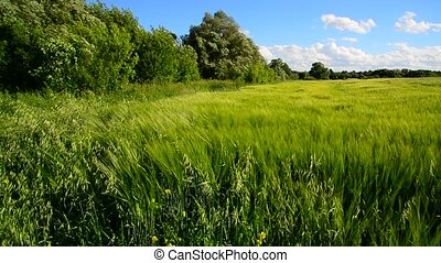 Rye field and trees during a strong wind - Rye field and a...
