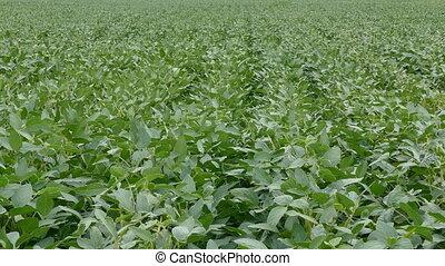 Green soybean plants in field - Green soy bean plants in...
