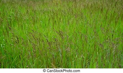 Green meadow with wild grass in summer - Green meadow with...