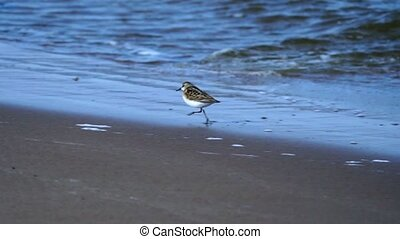SLOW MOTION: Small birds sandpipers running along the sandy...