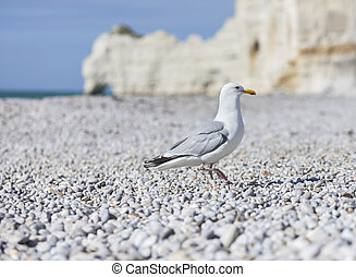 Seagull on the Beach in Normandy - Seagull on a specific...