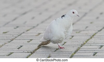 White pigeon jumping on one leg - disabled street birds,...
