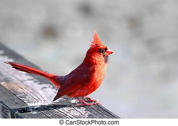 Cardinal Bird - Close up shot of Cardinal