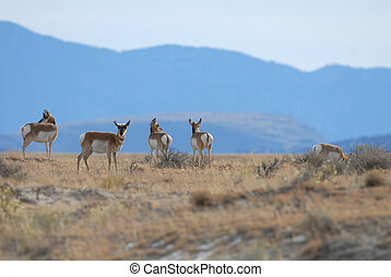 Pronghorn In View - A small group of pronghorn from New...