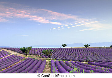 Endless rows of lavender - Trees in the rows of scented...