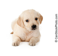 Retriever puppy - Golden retriever puppy of 6 weeks old on a...