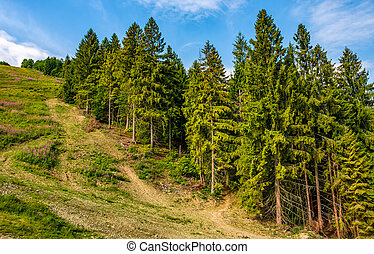 path through spruce forest on hillside. lovely summer...