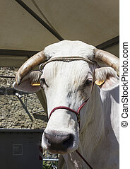 Close up of a chianina cow face