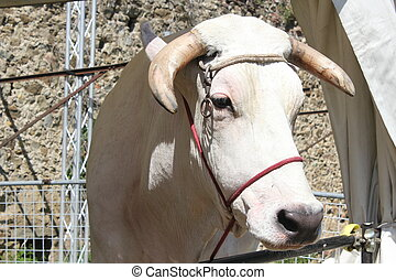 Muzzle close up of a chianina cow in Tuscany, Italy