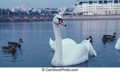 White swans on the water 4k