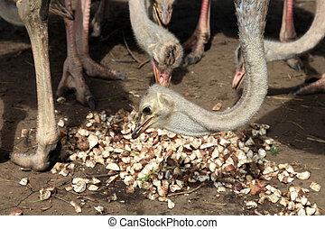 Ostrich - Uganda, Africa - Ostrich - Uganda - The Pearl of...