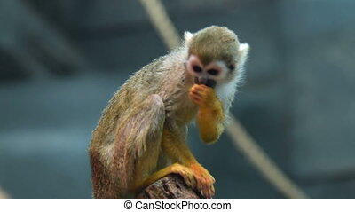 Squirrel monkey in the aviary - Squirrel monkey sitting on...