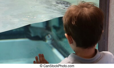 Kid likes watching Humboldt penguins swimming in the pool -...