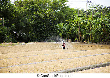 Thai people working watering to plant and vegetable in...
