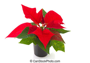 Poinsetta for Christmas - Red Poinsetta for Christmas...
