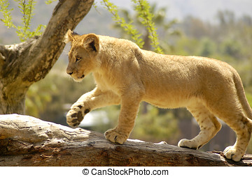 Curious Lion Cub - Young curious lion cub balancing himself...