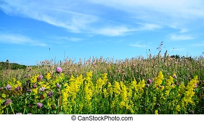 Bedstraw, heather and clover on meadow - Bedstraw, heather...
