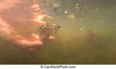 A small river turtle - A small merry river turtle swims...