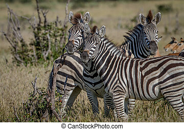 Two Zebras starring at the camera. - Two Zebras starring at...