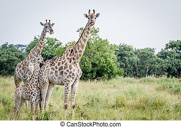 Two Giraffes starring at the camera. - Two Giraffes starring...