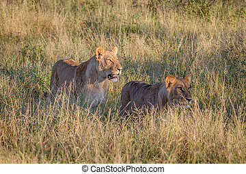 Two Lions walking in the high grass. - Two Lions walking in...