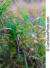 Spider garden-spider Araneus type of spider araneomorphae...