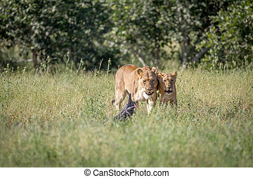 Two Lions bonding in the grass. - Two Lions bonding in the...
