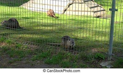 muskrat ondatra zibethicus animals walk in zoo garden cage....