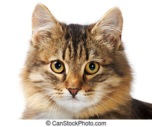 Fluffy pet - Image of fluffy grey cat looking at camera over...
