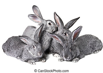 Group of rabbits - Image of four grey rabbits over white...