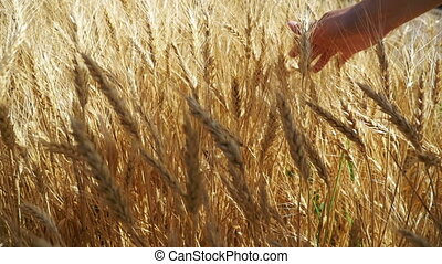 Woman's Hand Moves in Spikelets of Wheat in the Field. Slow...