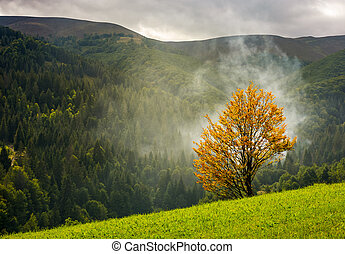 tree with yellow foliage in foggy mountains. beautiful...